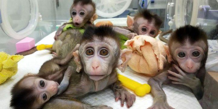 Cientistas colocam genes humanos em macacos e os tornam mais inteligentes