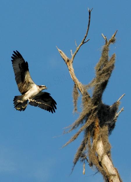 ofsprey-with-branch-in-flight