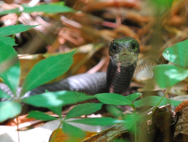 black racer after eating copperhead
