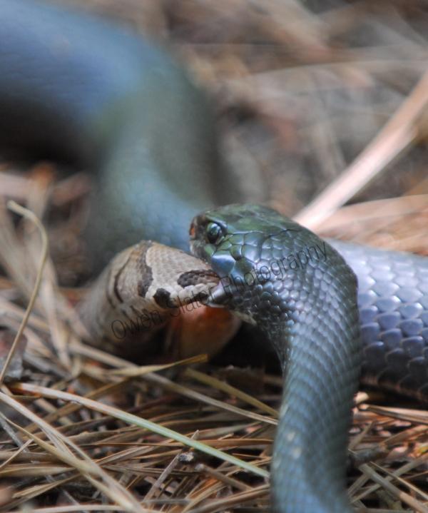 rat snake eating a copperhead rattlesnake 2