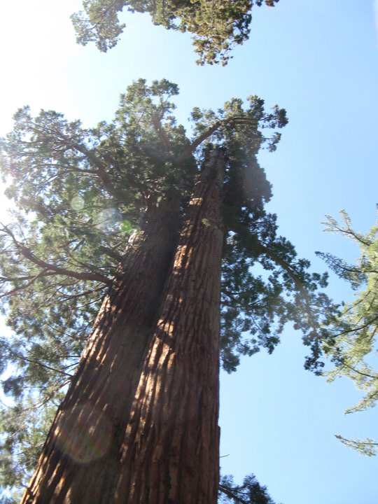 The Mariposa Grove is located at the south entrance of Yosemite National Park and contains the largest stand of giant sequoias in the park.