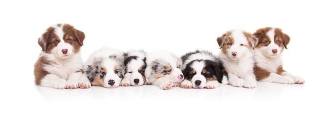Australian Shepherd Pups Owiwi