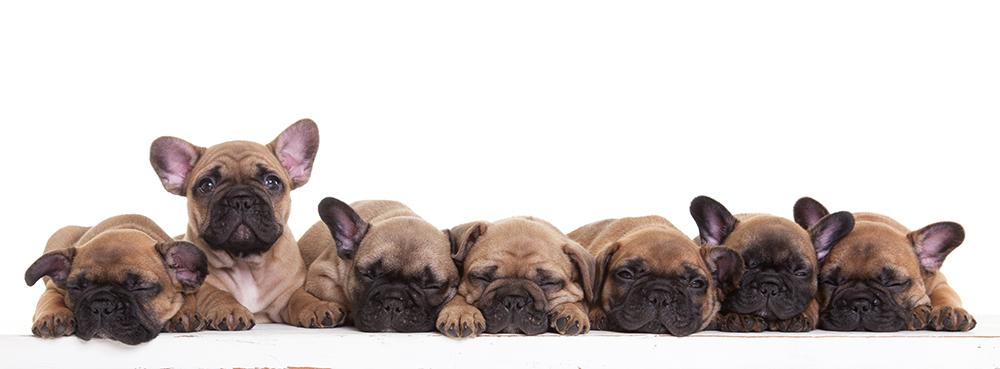 Franse bull dog puppies Owiwi