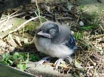 Fledgling Blue Jay