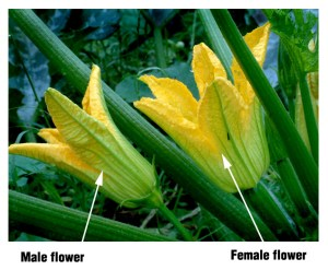zucchini blossoms male female