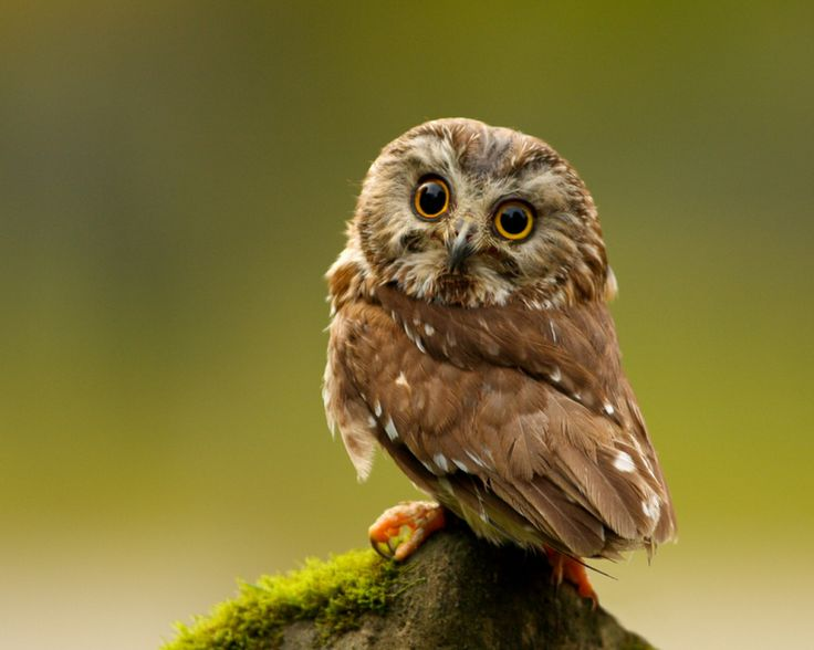 Really Cute Baby Pygmy Owl