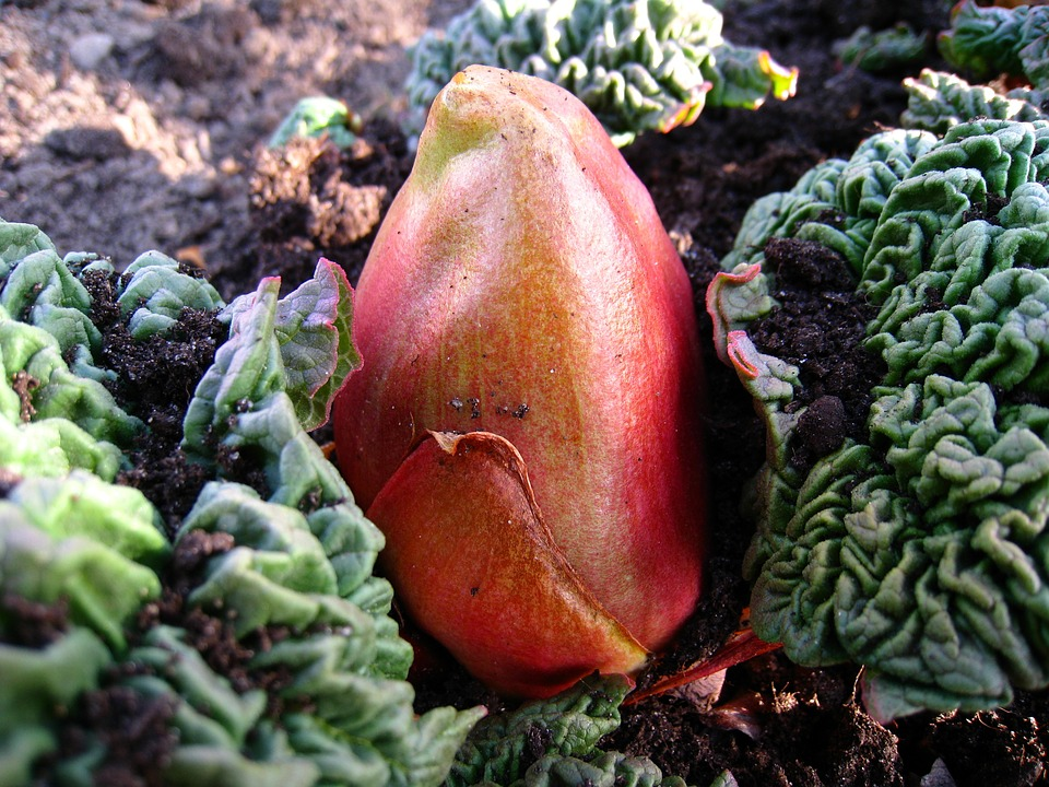 Growing And Caring For Rhubarb