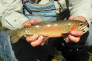 Pagosa springs rainbow traout