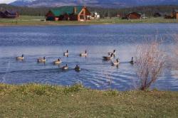 Capstone Village lake ducks