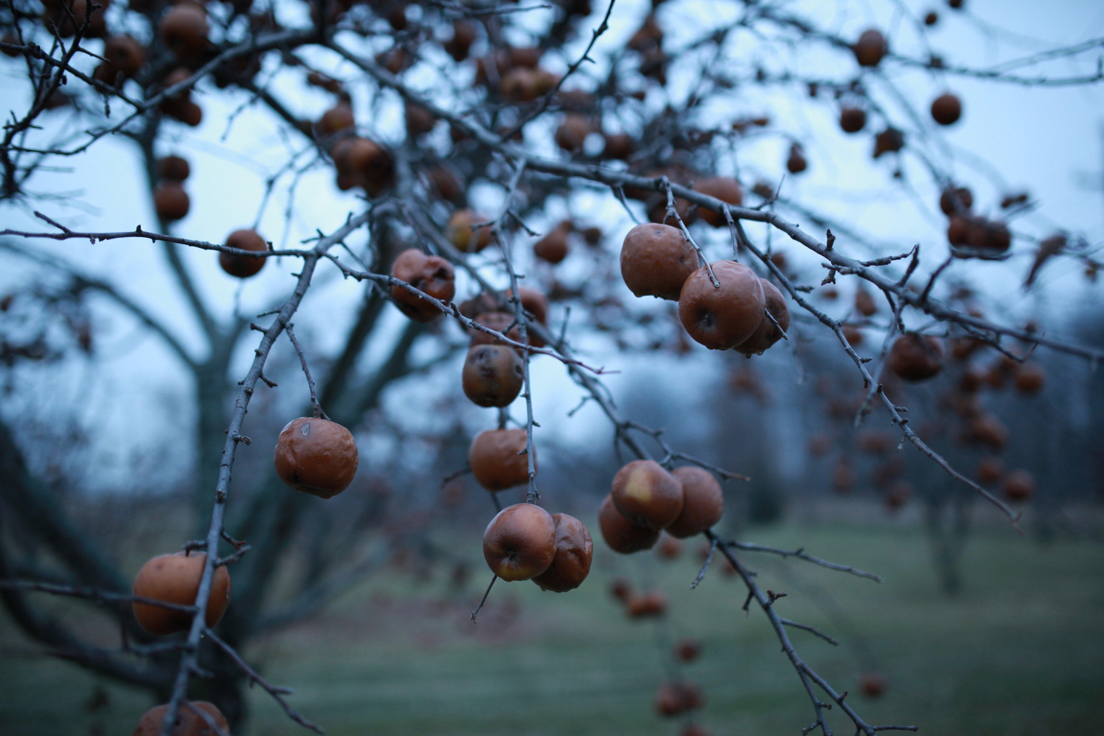 apple tree in Nov