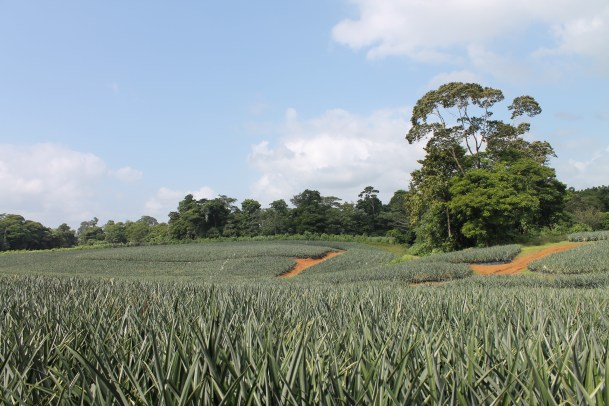 An organic pineapple plantation in Costa Rica. Photo by Olivia Lease.