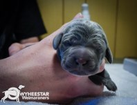 very-young-pups-from-owyheestar-archives-10