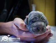 very-young-pups-from-owyheestar-archives-12
