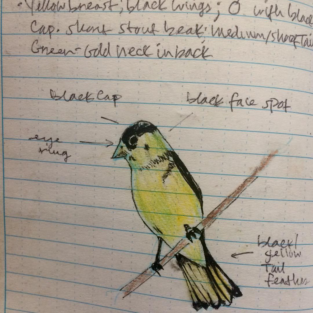Now here's a perfectly good and reliably distinctive #bird, the Lesser Goldfinch, for godsake