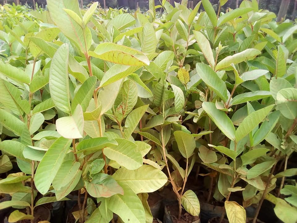 guava seedlings