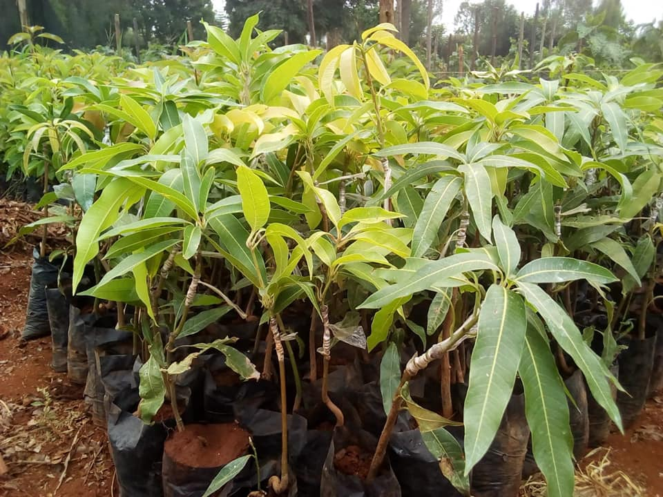 mango seedlings