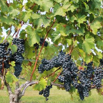 grape farmer
