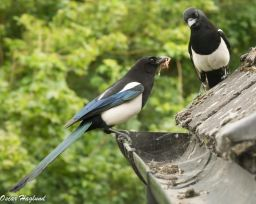 Magpies catching and eating small birds outside my office window. (a6000 + 90mm Macro G)