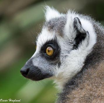 Lemur at the Cotswolds wildlife park. (a6000 + 90mm Macro G)