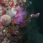 Sea snail and algae (Plymouth/Ed Wibberley)