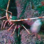 Spiny lobster (Porthkerris/Caio Goodman)