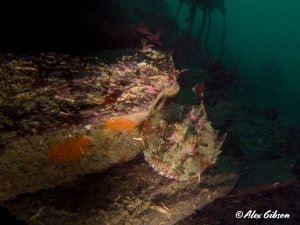 Scorpionfish on the wreck of the Glen Strathallan