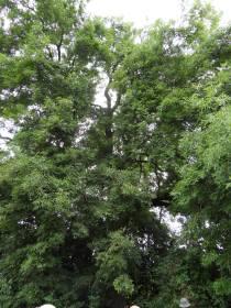 the ash tree ...