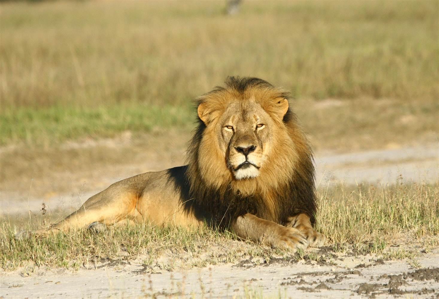 Cecil the lion. Photo courtesy WildCRU