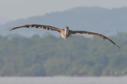 Pélican à Livingston au Guatemala