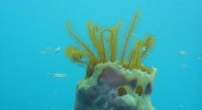 Coraux du Belize