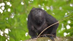 Singe hurleur du Belize