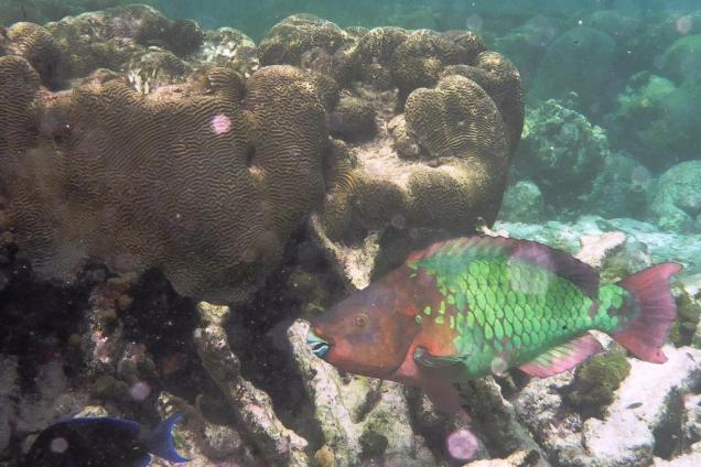 10 awax-c-est-un-enorme-poisson-perroquet-de-70cm-de-long-superbe-le-prefere-d-isa