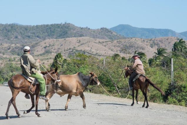 19-vaqueros-menant-un-taureau-a-marea-del-portillo