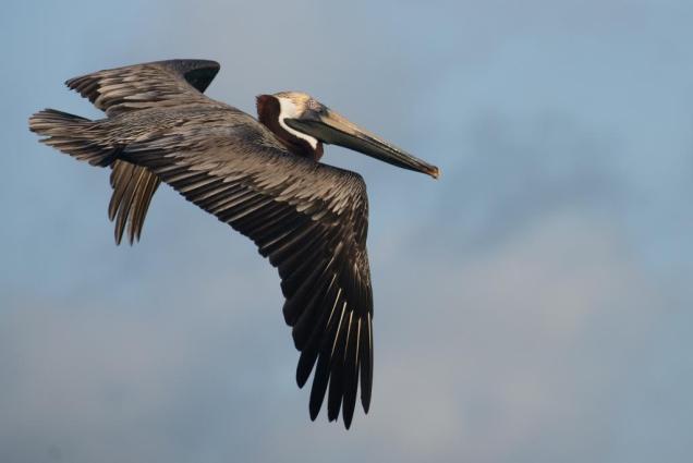 30 pelican-de-rabusqui-au-roques
