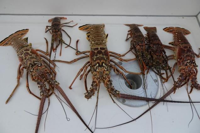 Photo-14bis langoustes