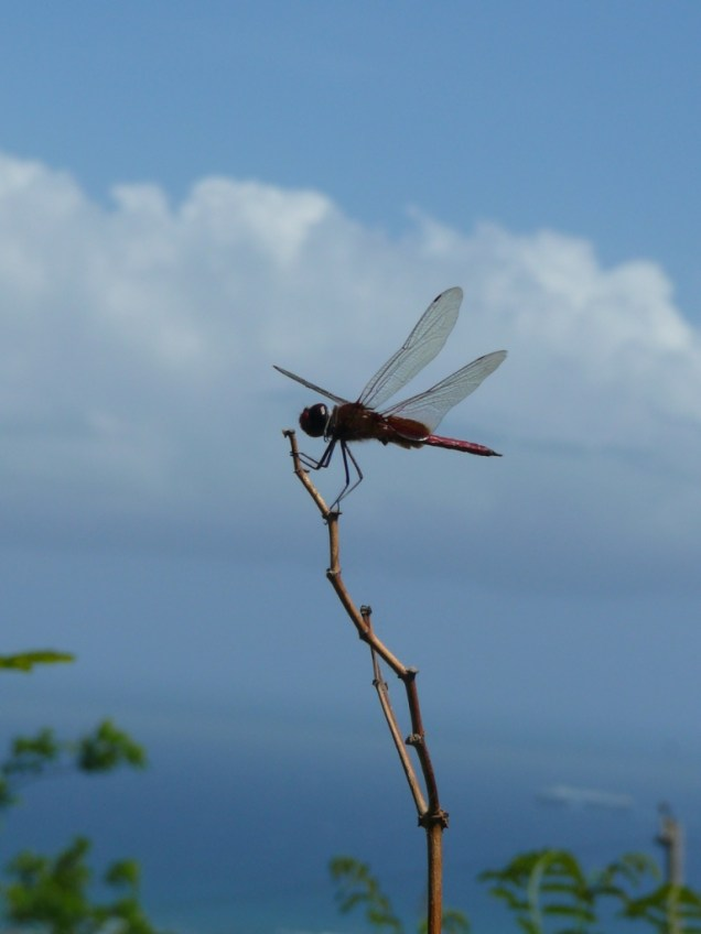 7-libellule-a-nevis