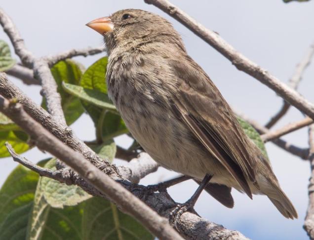 9 Pinson de Darwin
