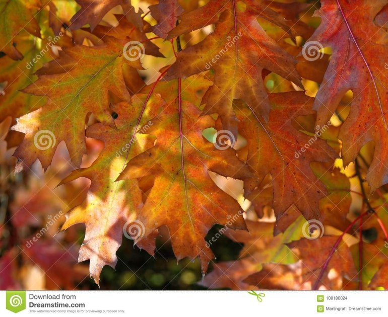 Maple Foliage At Fall Background Stock Photo - Image Of Color inside Maple Tree In German