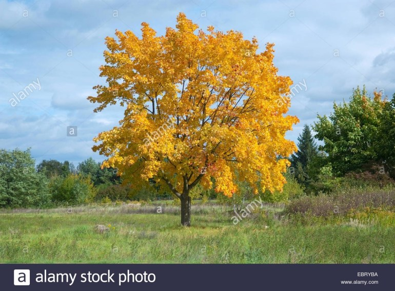 Norway Maple (Acer Platanoides), Single Tree In Autumn, Germany with Maple Tree In German