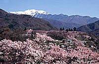 日本の桜の名所として名高い、高遠城址公園に咲く桜は、約1,500本余。桜の木々に薄ピンク色の花が咲く「タカトオコヒガンザクラ」です。 ≫ 高遠町の観光情報