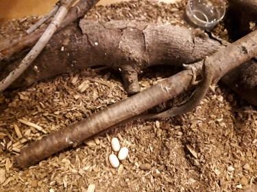 カナヘビを飼育する際には冬場のお世話が最重要!