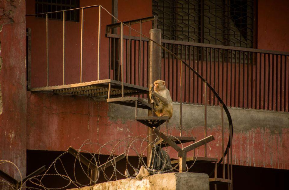 Kalua: La historia del mono alcohólico que mató a una persona y desfiguró a varios niños