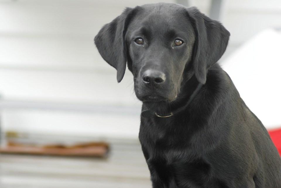 Heroína de cuatro patas: Una perrita despertó a sus dueños a tiempo y los salvó de un incendio