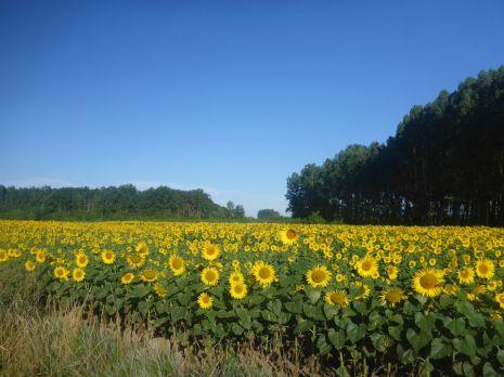 Champs de tournesol | Field of sunflowers
