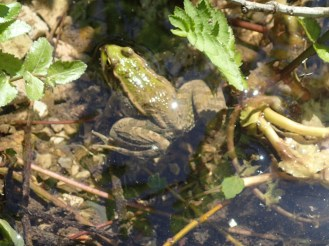 Grenouille | Frog
