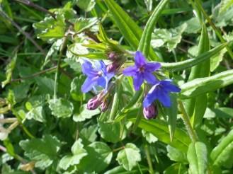 gremil pourpre-violet