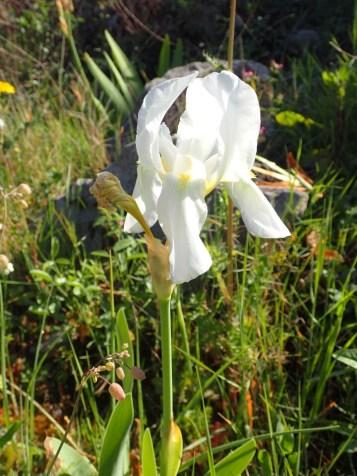 iris d'allemagne blanc 1