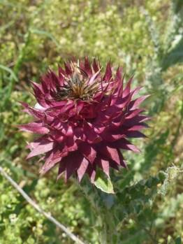 Fleur de charbon | Thistle flower