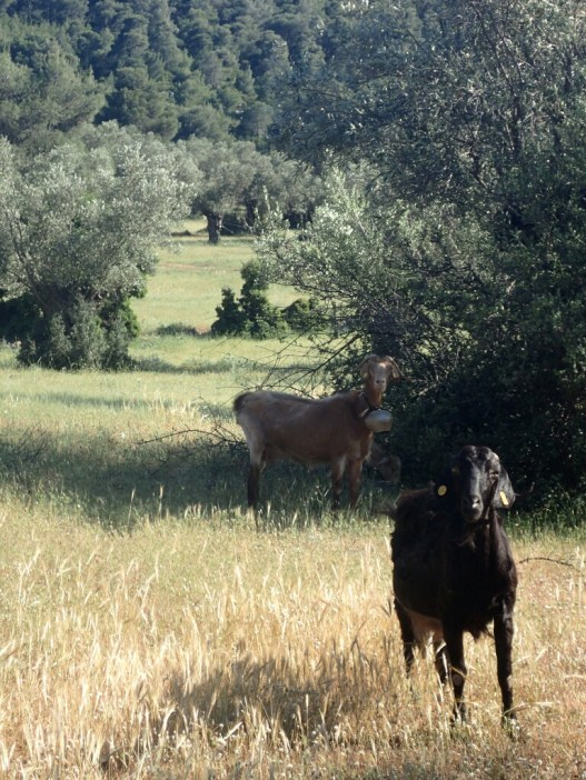 Chèvres | Goats