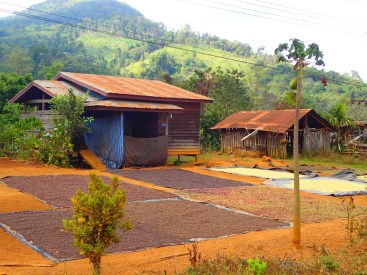 Séchage du café | Coffee drying